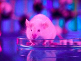 Yeni gen tedavisi farelerde yaşlanmayı tersine çeviriyor